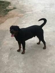 Filhotes de Rottweiler disponíveis para reserva