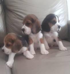 Filhote de beagle disponível!
