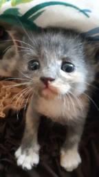 Vendo gato da raça persa
