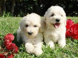 Poodle Toy Lindos Filhotes