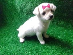 Chihuahua Filhotes Lindos Porte Pequeno
