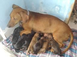 dachshund ( teckel , salsicha , Cofap )