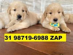 Canil Belos Filhotes Cães BH Golden Pastor Akita Rottweiler Labrador