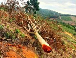 Árvores de Cedro Australiano com 15 anos de idade ! (Não cerradas)