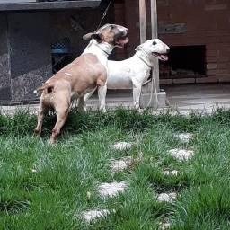 Bull Terrier Inglês Filhotes