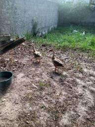 Casal Ganso Africano + 4 patos