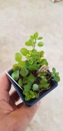 Rotala Rotundifolia Linda Planta Aquario Plantado