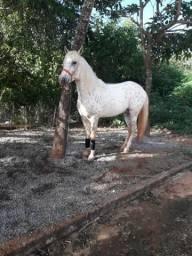 Cavalo Apalooza Garanhao