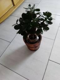 Vendo está linda planta da sorte chamada jade