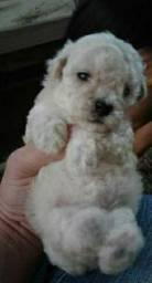 Poodle toy MACHO ( NÃO RESPONDO NO CHAT)