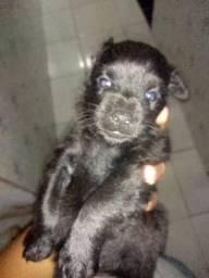 Filhotes de poodle com um mês