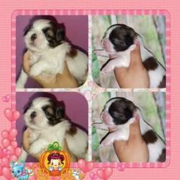 Shih Tzu e poodle micro