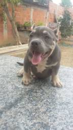 Fêmea de American bully tree Blue