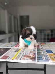 Lhasa Apso com suporte veterinário gratuito a pronta entrega, *