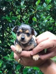 Chihuahuas filhotes, parcele em até 12x sem juros