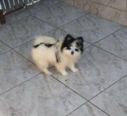 Lulu fêmea