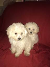 Poodle pequenos