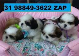 Canil Filhotes Pet Cães BH Shihtzu Maltês Poodle Lhasa Yorkshire Bulldog