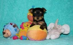 Lindo bebê de yorkshire terrier disponível