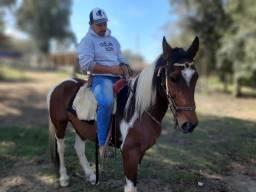 Cavalo Pampa marchador Lindo