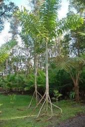 Palmeira que Anda