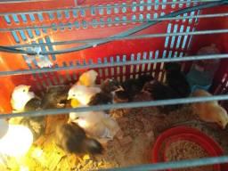 Pintos e ovos galados