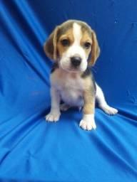 Beagle a partir de 45 dias de vida ja desmamados