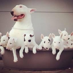 Bull Terrier Inglês pirata/fulvo/tricolor/white e black brindle, machos e fêmeas