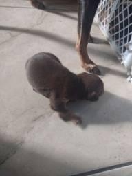 Título do anúncio: Rio de janeiro, Vendo esse cachorro pinscher