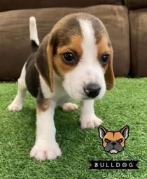 Filhote de beagle macho