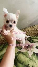 Chihuahua machinhos de pelagem longa disponíveis.! Canil Fast and Furious!!!