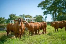 [45]] Senepol PO Elite Forme seu rebanho (Novilhas/Vacas vazias e prenhas) em 12 parcelas