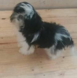 Uma linda cachorrinha da raça Shih Tzu.