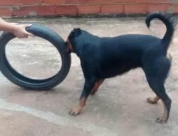 Rottweiler Fêmea Seleção de Guarda