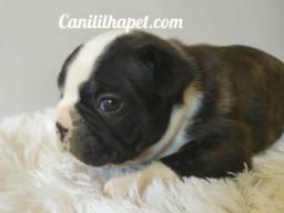 Bulldog francês disponível
