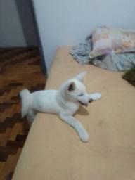 Akita 5 mês macho