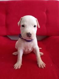 Vende-se filhotes de american pitbull todas fêmeas