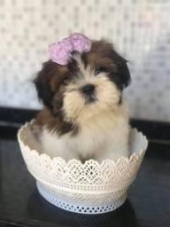 Shih Tzu com pedigree cbkc
