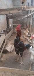 Vários frangos