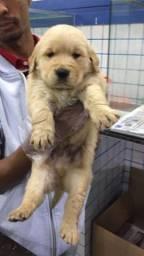 Golden Retriever M/F com suporte veterinário e garantia de saúde (tudo em contrato) $$