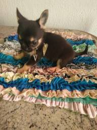 Chihuahua macho 2 meses