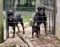 CanilCityPet melhores e maiores filhotes de Rottweiler