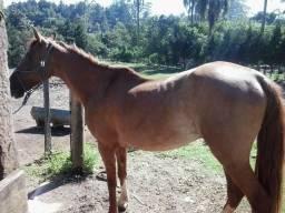 Cavalo mangalarga machador domesticado excelente para montaria