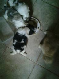 Filhotes poodle