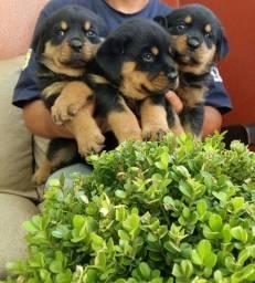 Companhia Guarda E Segurança Rottweiler Porte Grande Alemão É Aqui
