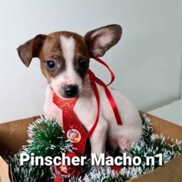 Machinho de Pinscher n1