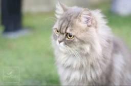 Gato Persa Macho para Cruza
