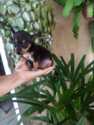 Pinscher machinho 200
