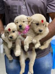 Golden retriever com pedigree e microchip até 18x
