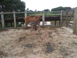 Vendo vaca com bezerra no pe